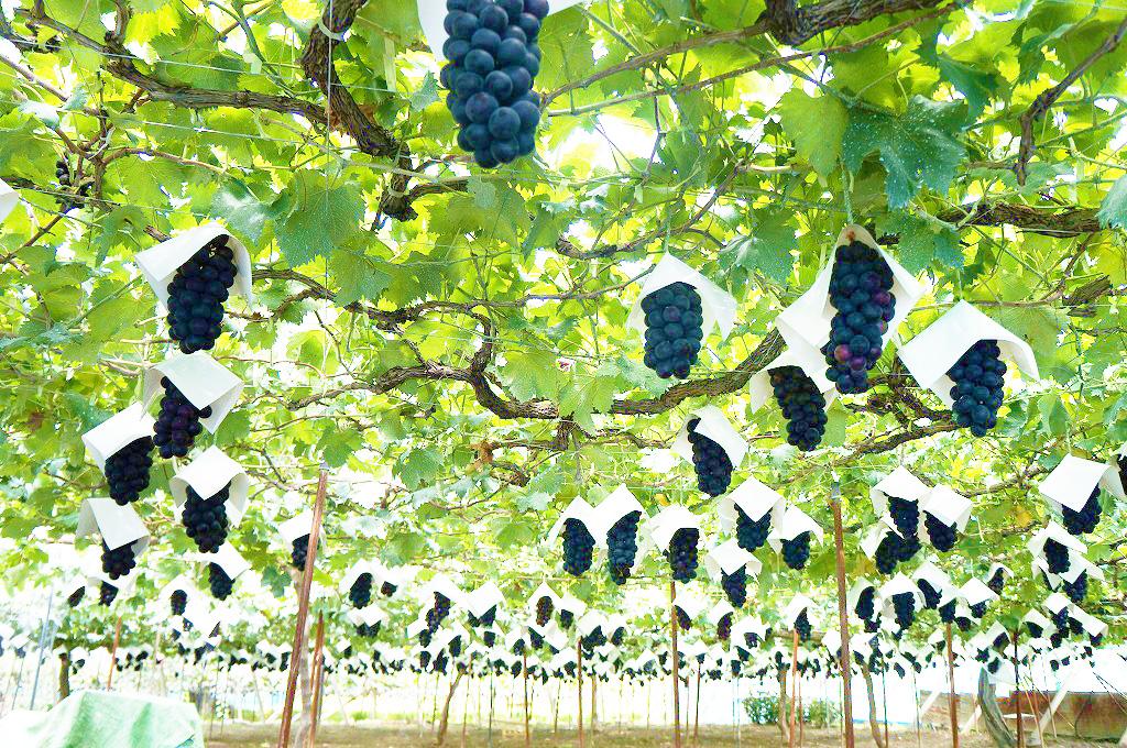 山梨・勝沼・理想園:8月中旬夏から秋へいよいよ藤稔の収穫