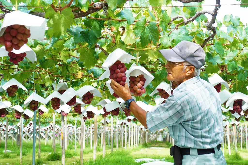 「ゴルビー」のぶどう棚。理想園では「完熟」のタイミングを職人が目利きし、完熟状態の葡萄だけを収穫しています。
