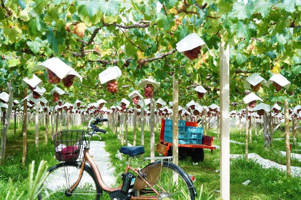 「ゴルビー」のぶどう棚。理想園では「完熟」のタイミングを職人が目利きし、完熟状態の葡萄だけを収穫