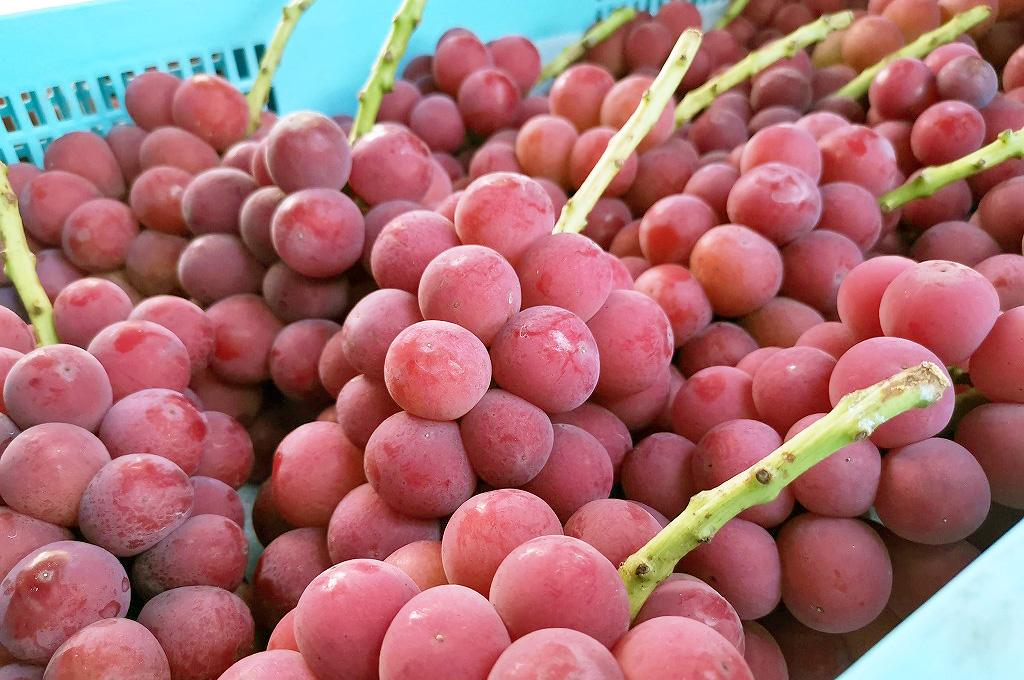 収穫前の「ゴルビー」。採れたて新鮮な状態でお客様の元へ農家直送でお届けします。