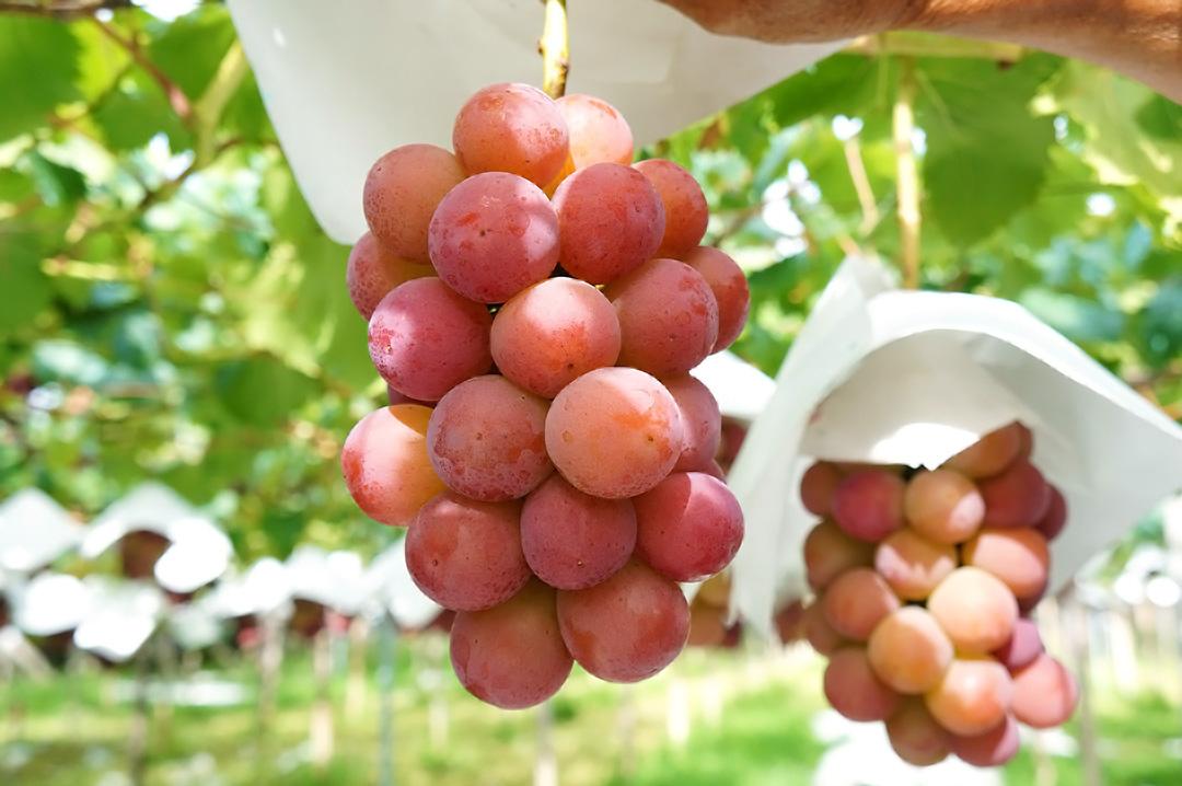 理想園の葡萄「ゴルビー」