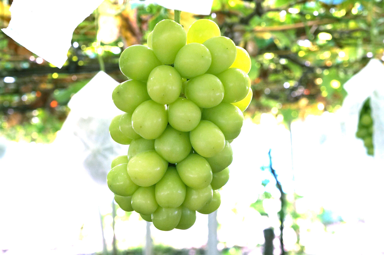 理想園の葡萄「ジュエルマスカット」