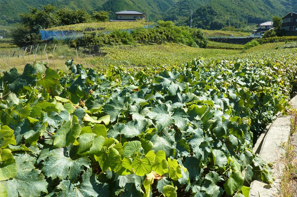 秋の葡萄棚。日照時間日本一、豊かな稔を育む水はけの良い扇状地。当園ではぶどう狩りが楽しめますが、地域のワイナリーでも、ワインのティスティングをしたりと山梨の稔りを堪能できます。