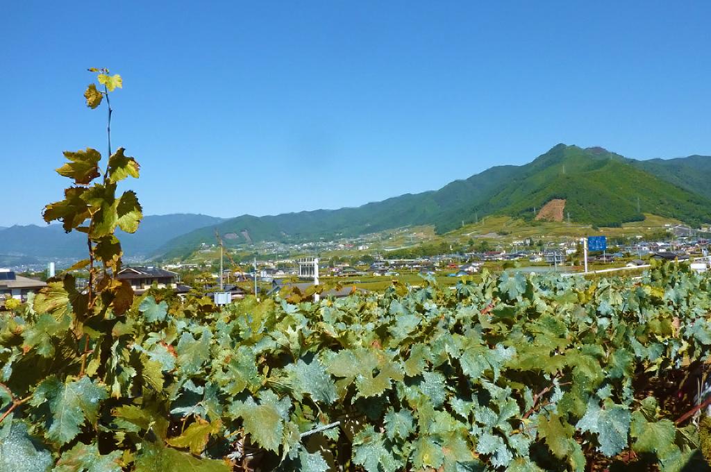 秋の葡萄棚。日照時間日本一、豊かな稔を育む水はけの良い扇状地。当園ではぶどう狩りが楽しめますが、地域のワイナリーでも、ワインのティスティングをしたりと山梨の稔りの時を迎えた山梨をじっくり堪能できます。