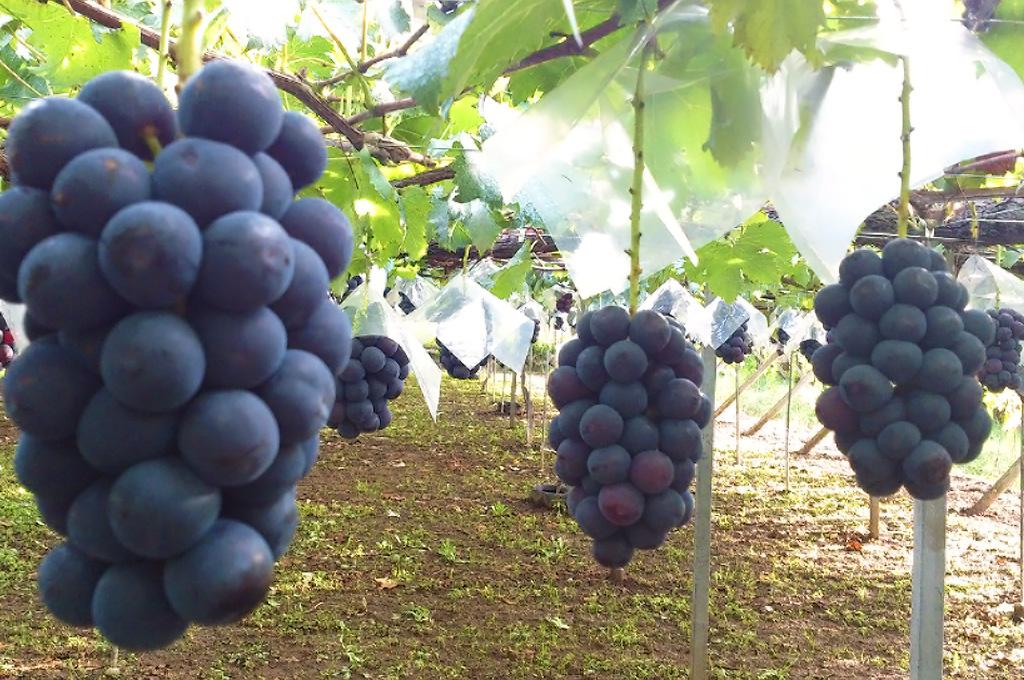 山梨・勝沼・理想園:8月下旬からピオーネの収穫が始まります。