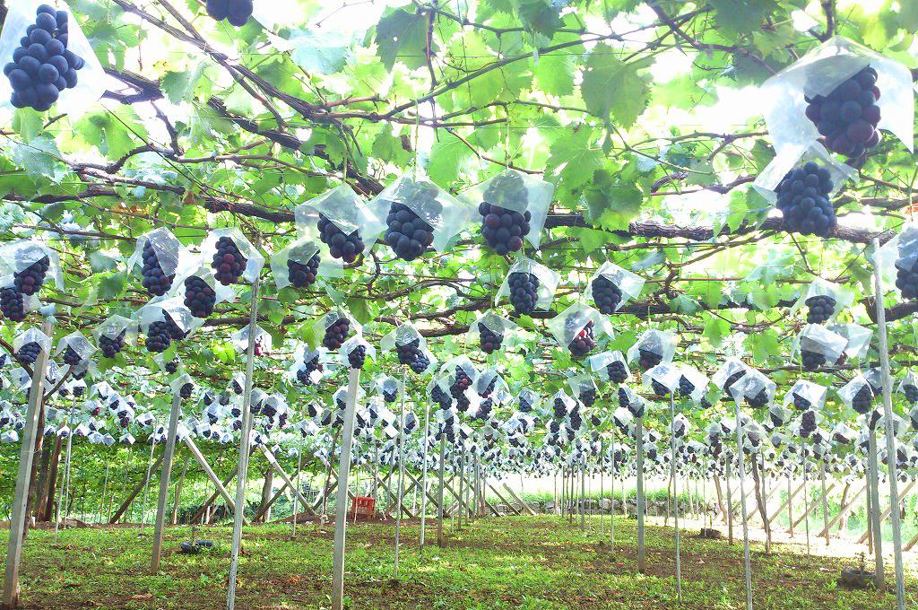山梨・勝沼・理想園:8月下旬からピオーネの収穫