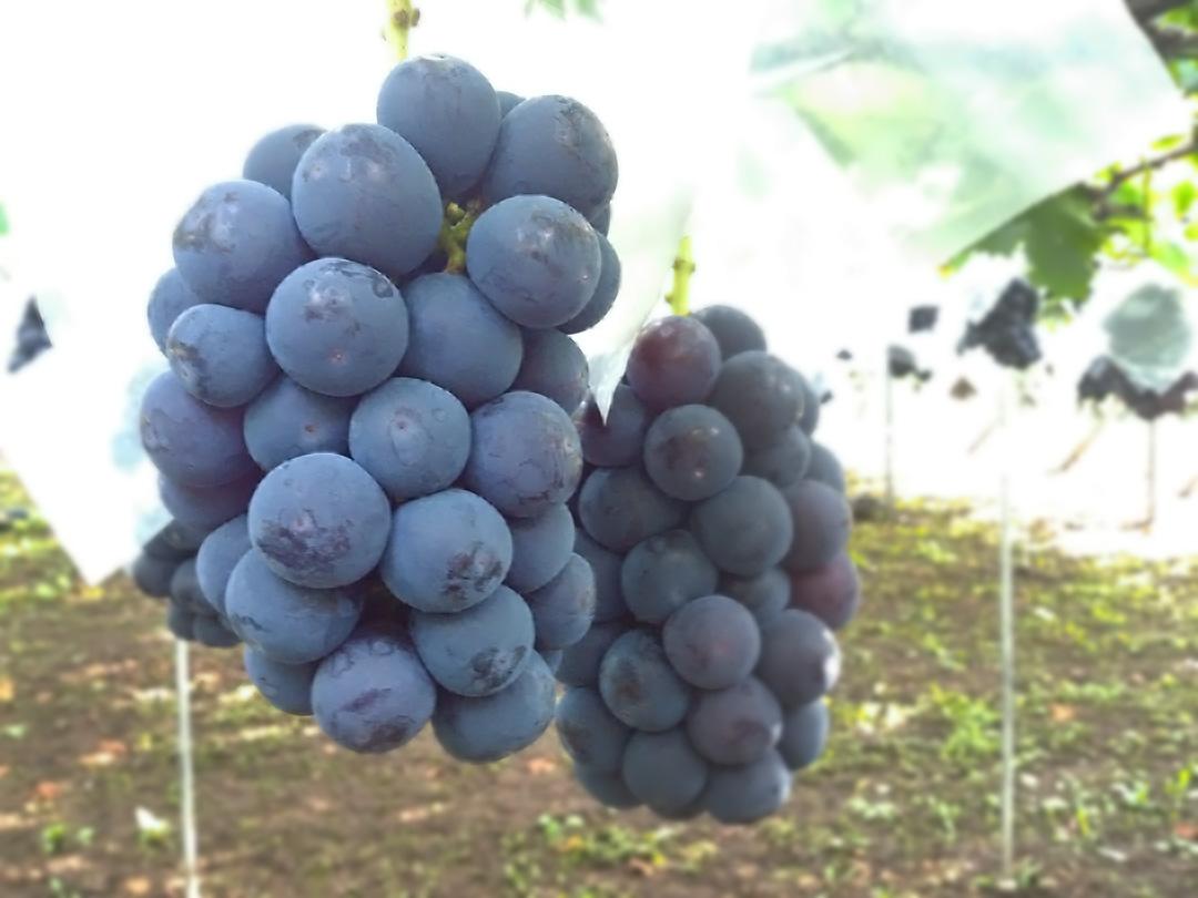 理想園の葡萄「ピオーネ」