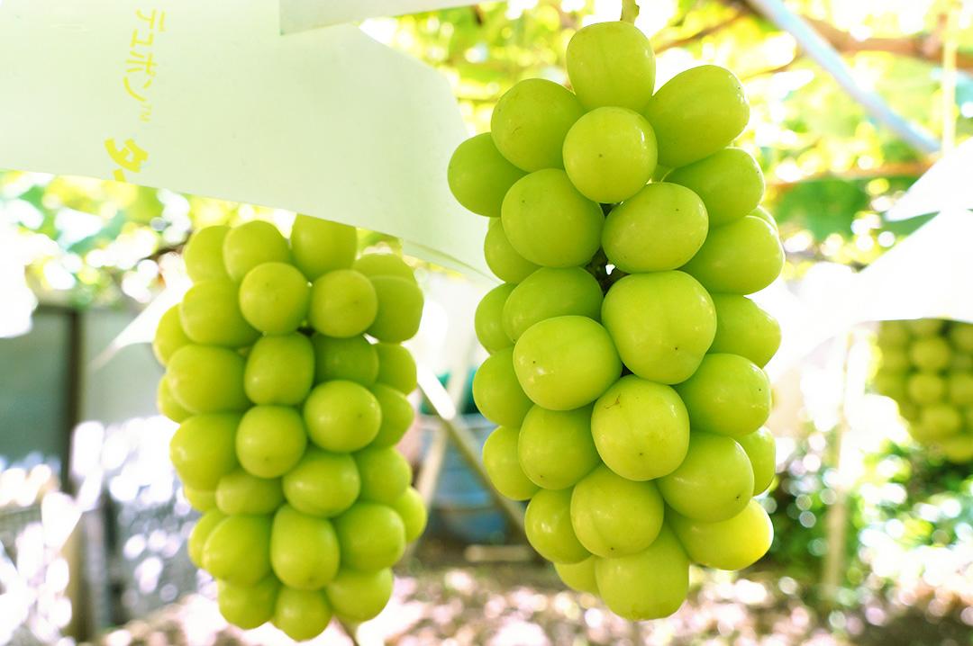 理想園の葡萄「シャインマスカット」