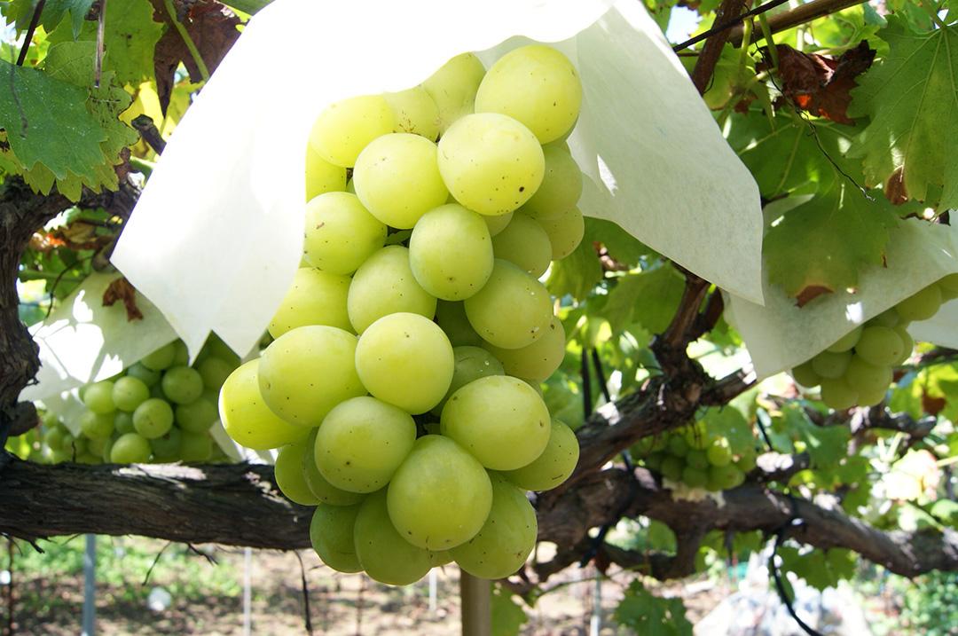 理想園の葡萄「翠峰(すいほう)」