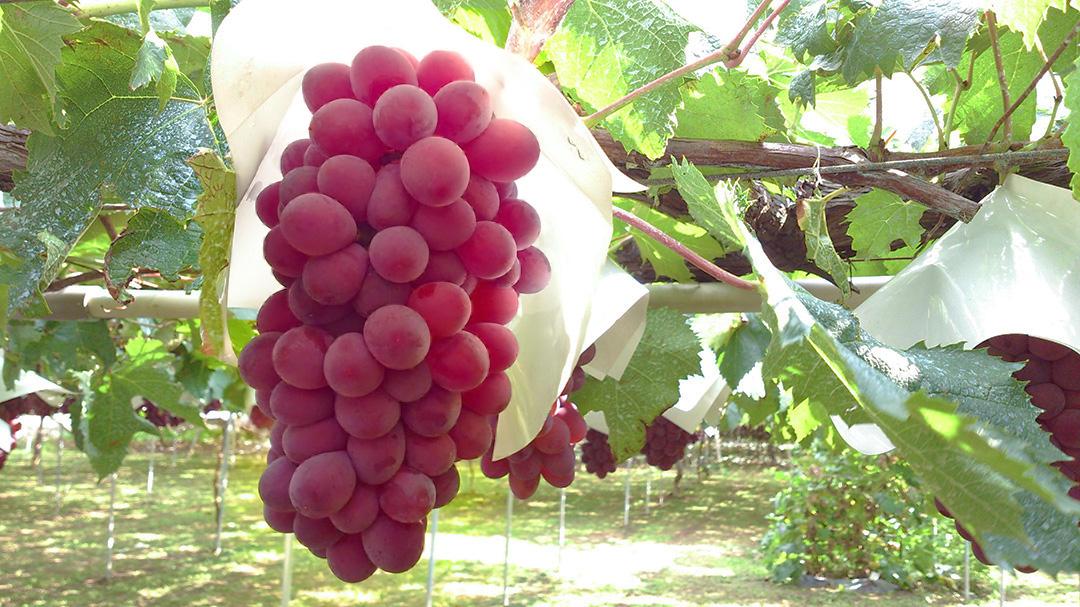 理想園の葡萄「サニールージュ」
