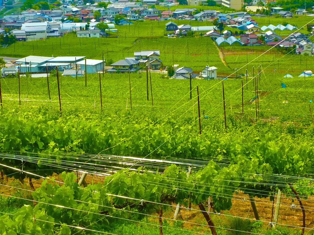 理想園の葡萄:夏の葡萄棚