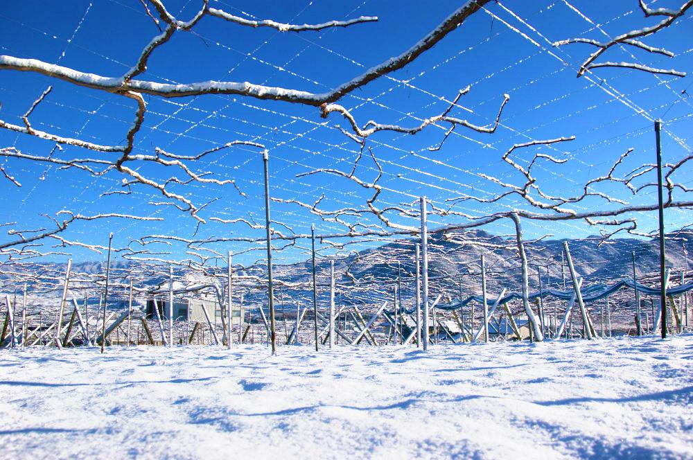 理想園の葡萄畑:冬
