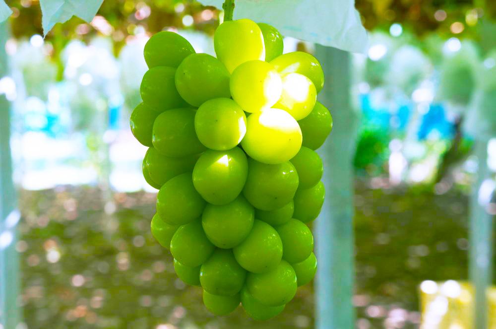 理想園の葡萄:食べる宝石「シャインマスカット」。特有な食感と凝縮された甘みが特徴