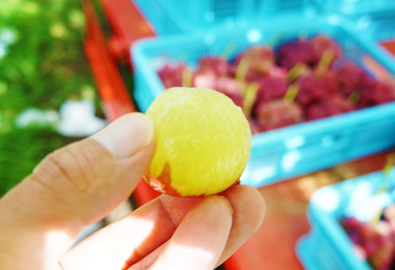 理想園の葡萄:知る人ぞ知る高級品種「ゴルビー」