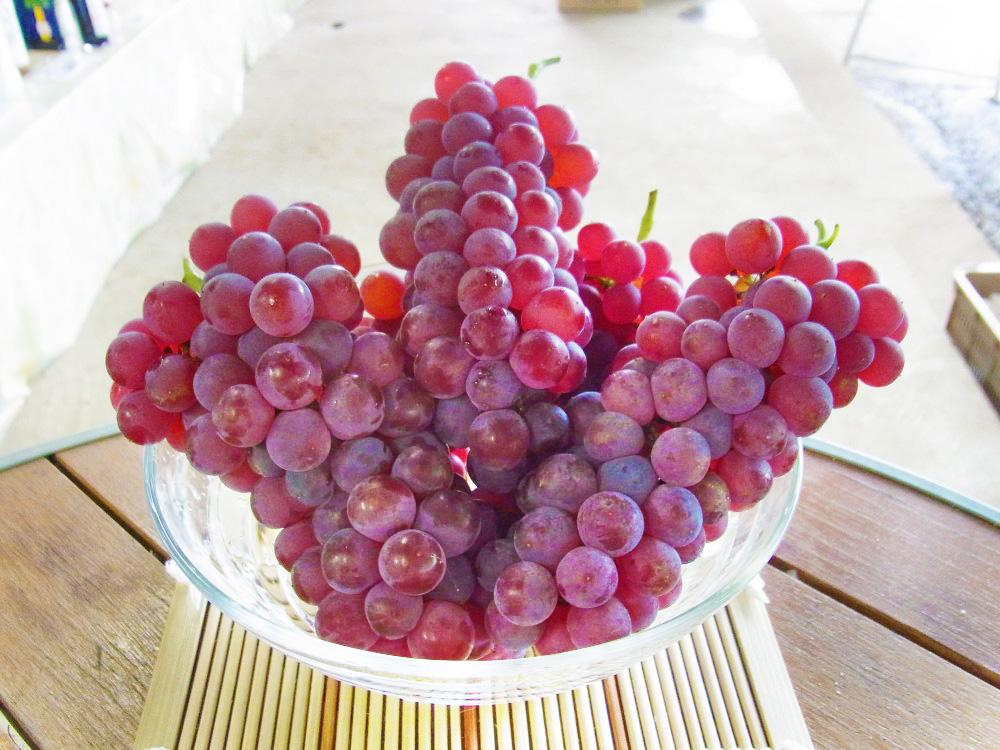 理想園の葡萄「デラウエア」