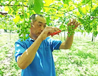 摘粒(てきつぶ):この作業が葡萄作りの重要なポイントです。生育する過程で、完成をイメージして1房1房形を形成していきます。