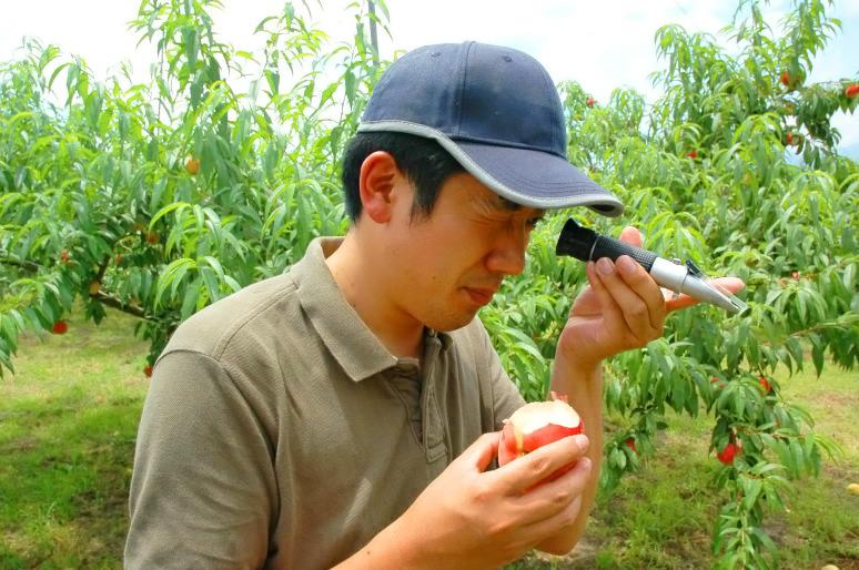 食べごろを見極め収穫する技術「目利き」