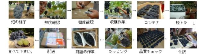 葡萄の工程(荷造りまで)