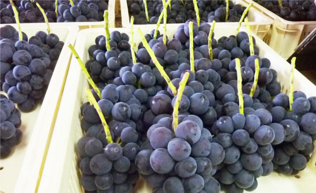 理想園の高級葡萄「ピオーネ」出荷前