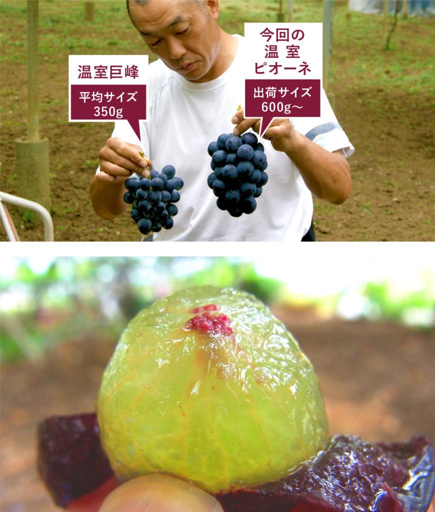 理想園の高級葡萄「ピオーネ」と「巨峰」の大きさ比較
